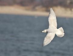 Iceland Gull, Sandy Hook, NJ