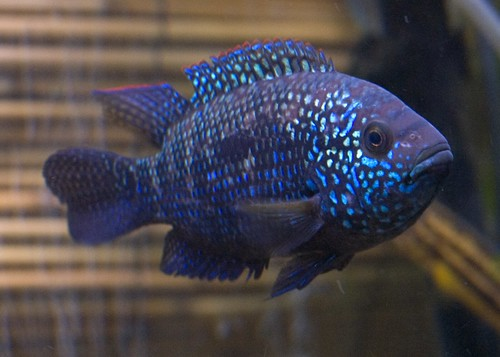 Electric Blue Jack Dempsey (How To Keep A Happy Healthy ...
