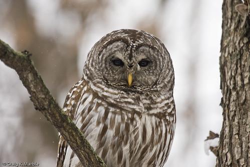 Craig's Birds: Barred Owl Madness!