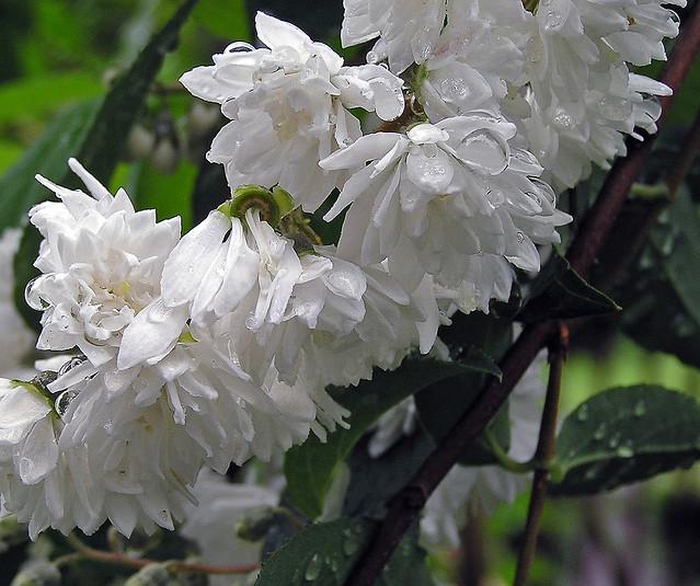 Fiori bianchi philadelphus virginalis flickr photo for Fiori bianchi profumati