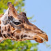 giraffe image, photo or clip art