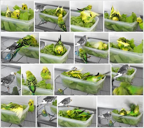 sittiche an salatbett birdsflyevenhigher. Black Bedroom Furniture Sets. Home Design Ideas