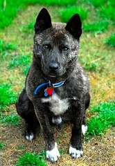 lapponian herder(0.0), puppy(0.0), akita(0.0), australian stumpy tail cattle dog(0.0), karelian bear dog(0.0), norwegian elkhound(0.0), wolfdog(0.0), saarloos wolfdog(0.0), formosan mountain dog(0.0), east-european shepherd(0.0), patterdale terrier(0.0), schipperke(0.0), dog breed(1.0), animal(1.0), kai ken(1.0), dog(1.0), dutch shepherd dog(1.0), pet(1.0), russo-european laika(1.0), mudi(1.0), carnivoran(1.0),