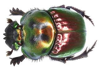 Coprophanaeus saphirinus chabrillacii (Sturm, 1857) female