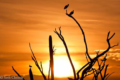 park trees bird birds sunrise orlando florida sigma os ibis wetlands whiteibis orlandowetlandspark 120300