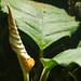 New Anubias Leaf