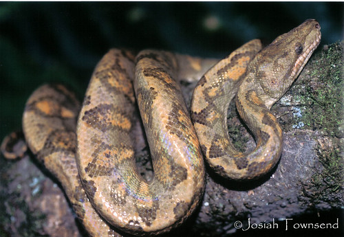 Corallus annulatus - Honduras