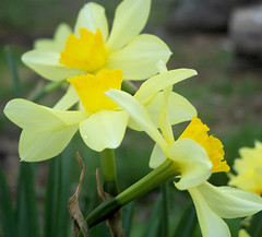 flower(1.0), yellow(1.0), plant(1.0), flora(1.0), narcissus(1.0),
