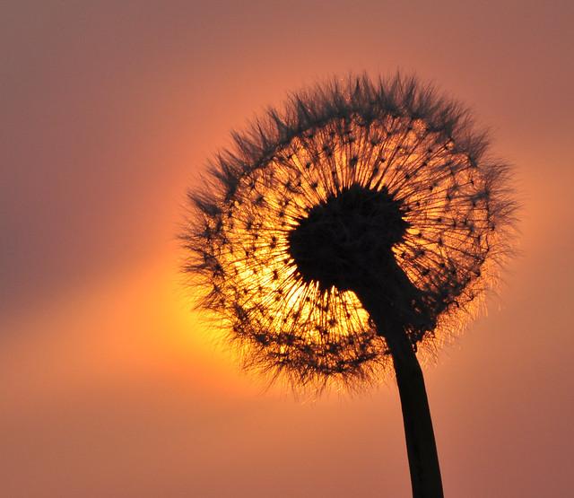 dandelion sunset related keywords - photo #15