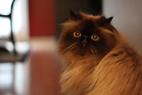 Persian owners only! Is your Perisan/Himalayan very vocal?