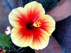Hibiscus amarillo y rojo