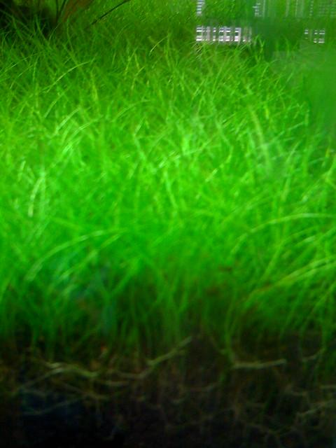 aquarium grass - grass in aquarium a species of aquatic grass in a freshwater tank at 2017 ...