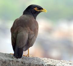 accipitriformes(0.0), blackbird(0.0), animal(1.0), wing(1.0), fauna(1.0), common myna(1.0), close-up(1.0), beak(1.0), bird(1.0), wildlife(1.0),
