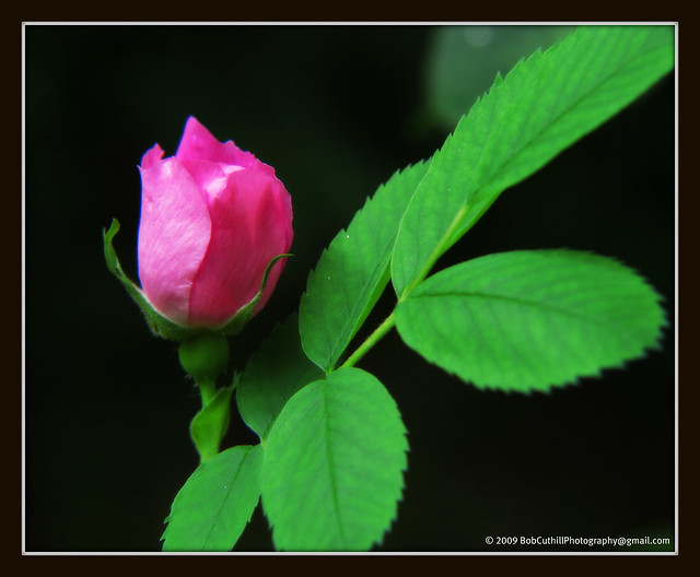 Wild-Rose-Bud