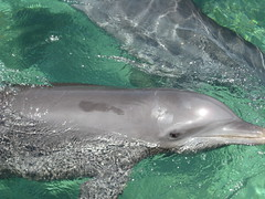 animal, marine mammal, common bottlenose dolphin, marine biology, short-beaked common dolphin, fauna, dolphin, stenella, rough-toothed dolphin, tucuxi,