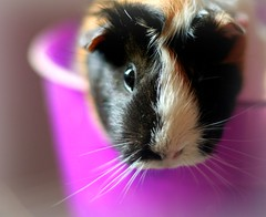 nose, animal, guinea pig, rodent, pet, snout, close-up, whiskers,
