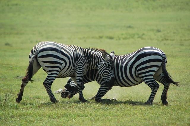 pelea de cebras