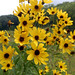 Tall Coreopsis - Photo (c) Peter Gorman, some rights reserved (CC BY-NC-SA)