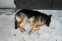 puppy(0.0), german shepherd dog(1.0), animal(1.0), dog(1.0), pet(1.0), street dog(1.0), old german shepherd dog(1.0), wolfdog(1.0), carnivoran(1.0),