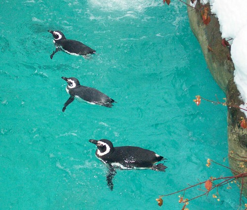 Magellanic Penguins by Potter Park Zoo