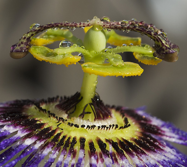 passion flower drops