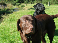 dog breed, labrador retriever, animal, dog, pet, mammal, german shorthaired pointer,