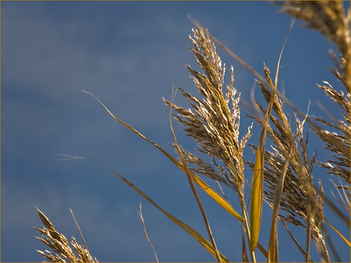 phragmites by Alida's Photos