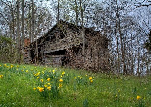 flowers rural nc spring cabin northcarolina logcabin vacant hdr blooming naturephotography catawbacounty stillgrowing davidhopkinsphotography daffodels