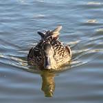duck4-flickr