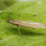 kis szúnyogpoloska - Berytinus minor