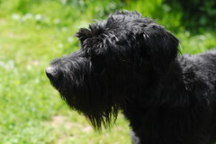 poodle crossbreed(0.0), schapendoes(0.0), havanese(0.0), portuguese water dog(0.0), barbet(0.0), terrier(0.0), dog breed(1.0), animal(1.0), dog(1.0), schnoodle(1.0), pumi(1.0), pet(1.0), tibetan terrier(1.0), glen of imaal terrier(1.0), giant schnauzer(1.0), standard schnauzer(1.0), vulnerable native breeds(1.0), black russian terrier(1.0), schnauzer(1.0), cesky terrier(1.0), bouvier des flandres(1.0), catalan sheepdog(1.0), cã£o da serra de aires(1.0), miniature schnauzer(1.0), affenpinscher(1.0), carnivoran(1.0),