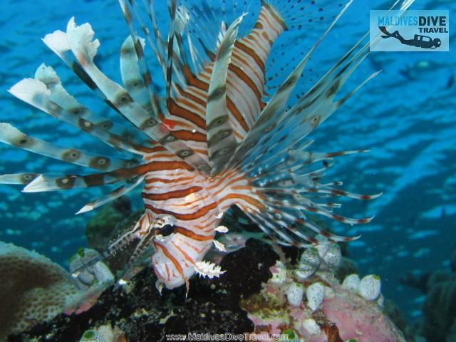 Lionfish Feeding Maldives | Flickr - Photo Sharing!
