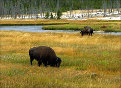 tundra(0.0), grizzly bear(0.0), cattle-like mammal(1.0), animal(1.0), prairie(1.0), plain(1.0), mammal(1.0), herd(1.0), grazing(1.0), fauna(1.0), muskox(1.0), meadow(1.0), bison(1.0), pasture(1.0), grassland(1.0), wildlife(1.0),