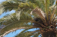 borassus flabellifer(0.0), flower(0.0), produce(0.0), fruit(0.0), food(0.0), date palm(1.0), arecales(1.0), coconut(1.0), branch(1.0), leaf(1.0), tree(1.0), flora(1.0), elaeis(1.0),