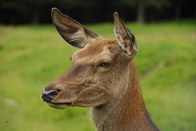 Cervo  -  Dolomiti