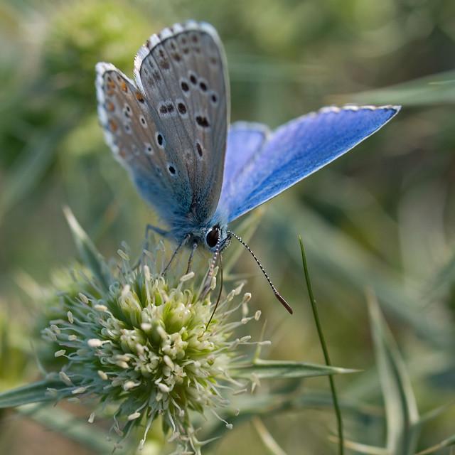 Azuré bleu céleste (Polyommatus bellargus) Adonis Blue