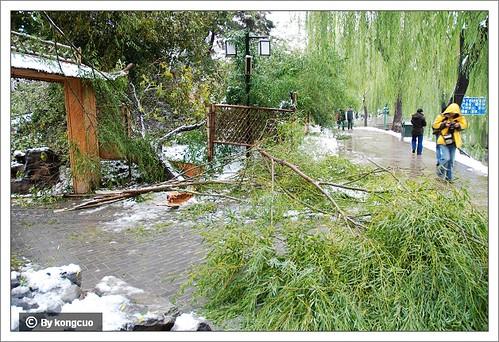 紫竹院-被大雪压倒的柳树
