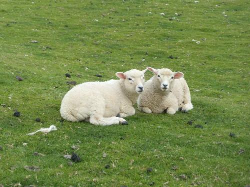 Obligatory sheep shot