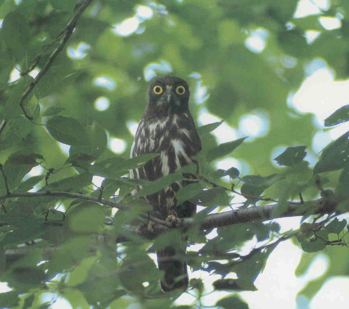 Philippine Hawk Owl | Philippine Bird Photography Forum