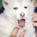 husky puppy by katya.smolina
