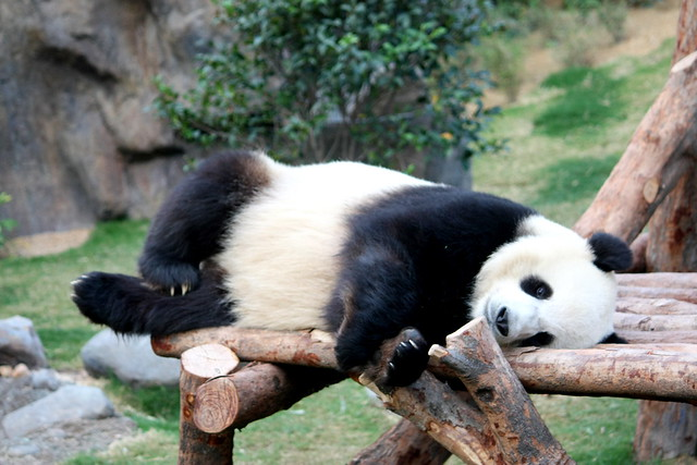 Lazy Panda 大熊猫 | Flickr - Photo Sharing!