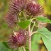 Burdock - Photo (c) Matt Lavin, some rights reserved (CC BY-SA)