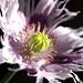 Poppy from the garden [Explored]