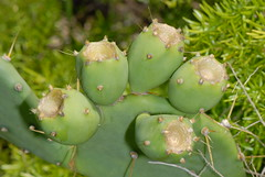 flower(0.0), food(0.0), nopal(0.0), barbary fig(1.0), plant(1.0), thorns, spines, and prickles(1.0), flora(1.0), produce(1.0), eastern prickly pear(1.0), caryophyllales(1.0),