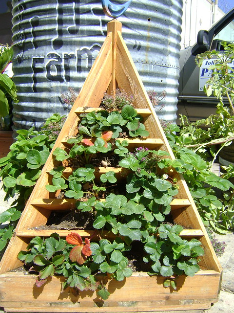Strawberry Plants | Flickr - Photo Sharing!