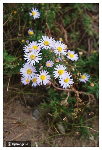 内蒙古植物照片-菊科狗哇花属狗哇花2