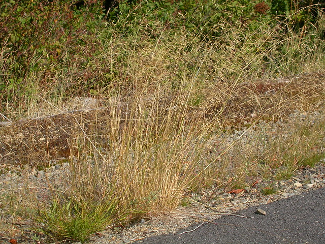 Header of Agrostis scabra