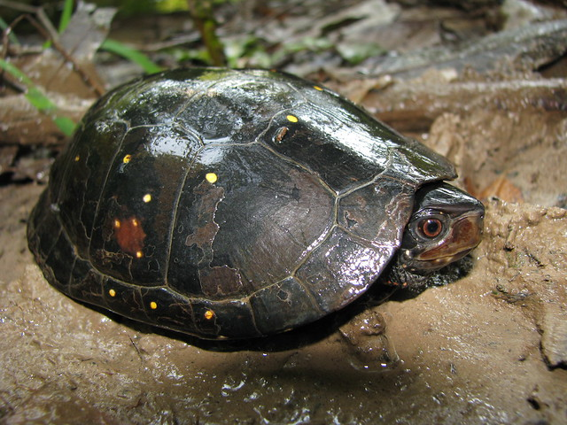 Maryland Biodiversity Project - Spotted Turtle (Clemmys guttata)