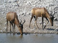 animal, mammal, hartebeest, fauna, wildlife,