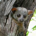 Milne-Edwards' Sportive Lemur, Ankarafantsika National Park, Madagascar